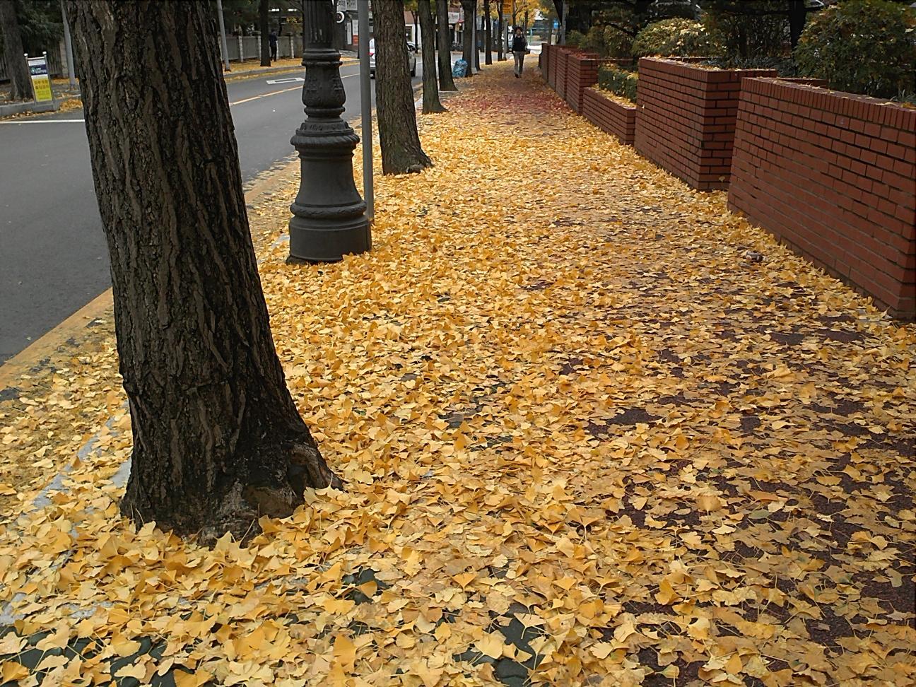 노오란  은행잎