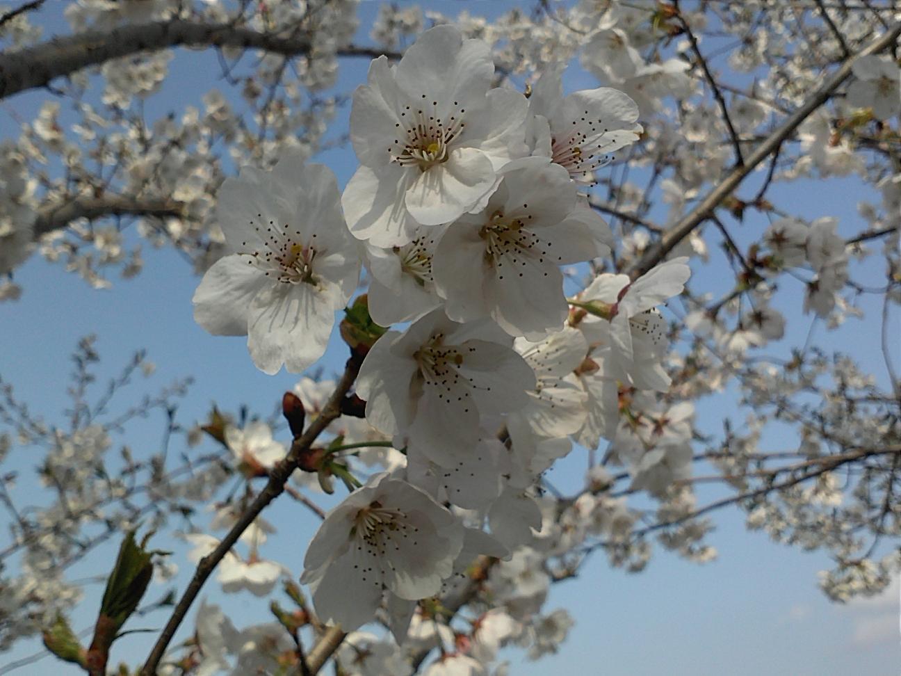 벚꽃...