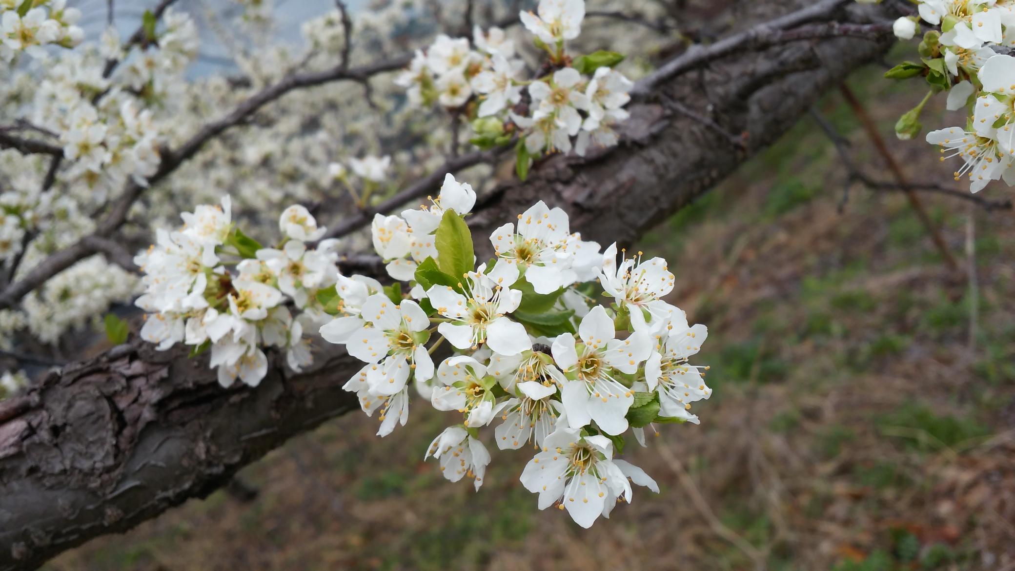 자두나무에 찾아 온 봄